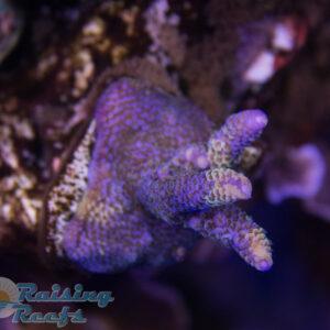 Raising Reefs Blue Thunder Acro SPS