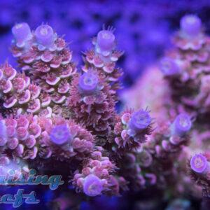 RR Rainbow Blossom Tenuis Acropora SPS Reef Raft