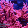 TNT Anacropora Jason Fox JF