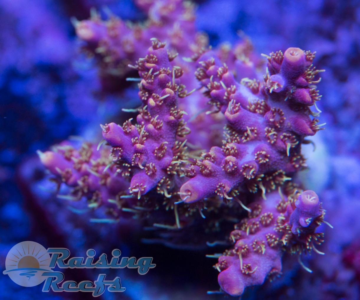 CR Eternal Flame Coral Revolution