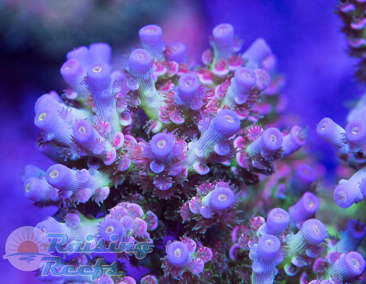CC Pink Highlighter Cherry Corals Tenuis