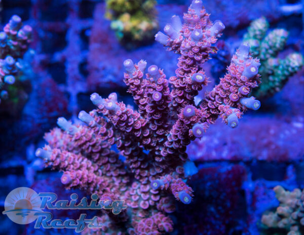 Reef Raft Rainbow Blossom